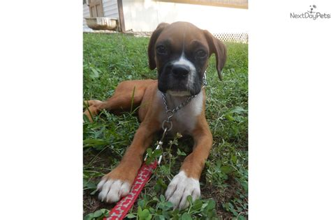 boxer puppies for sale in raleigh nc boxer puppy for sale near raleigh durham ch carolina 651d2fbd 7131