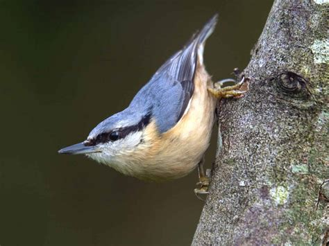 the nuthatch identification plumage habitat saga