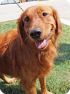 golden retriever mix puppies michigan maddie adopted adopted detroit mi setter golden retriever mix