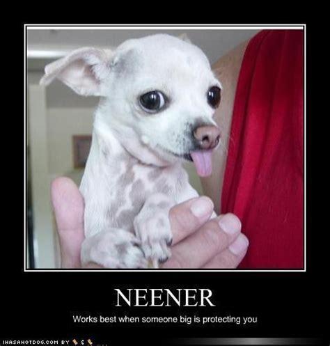 Funny Chihuahua Memes - funny cute chihuahua chihuahuas photo 13582291 fanpop