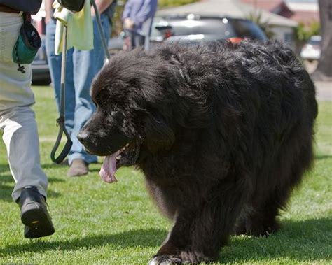 +worlds largest dog of 2014 | Yowzers! Check out the 10 ... Largest Dog In The World 2014