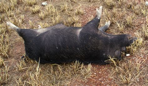 Makanan Favorit Cacing babi