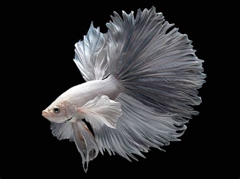betta siamese fighting fish underwater tropical