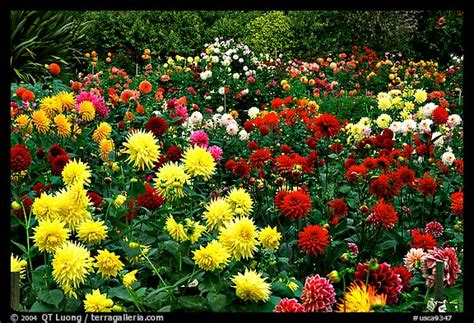 golden gate park flower garden picture photo multicolored dalhia flowers golden gate