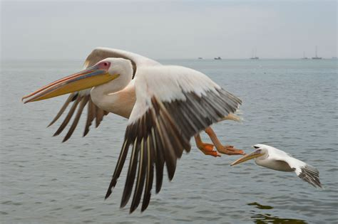 Vigel Pelicin pelikan bunte bilder