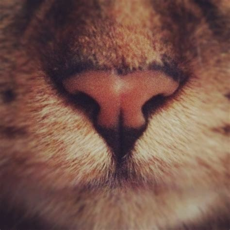s nose is warm cat cat nose cats image 621915 on favim