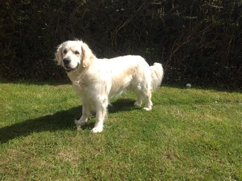 elevage de golden retriever elevage de golden retriever 224 mortree uncompagnon fr