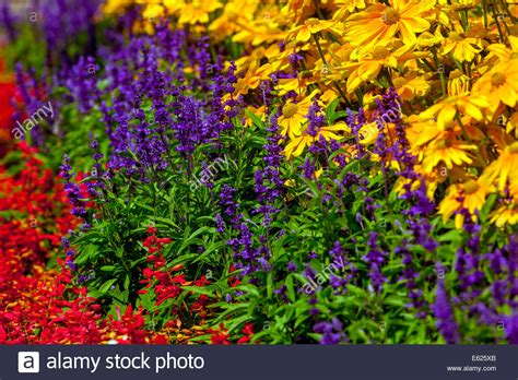 colorful flower bed of annual flowers rudbeckia hirta