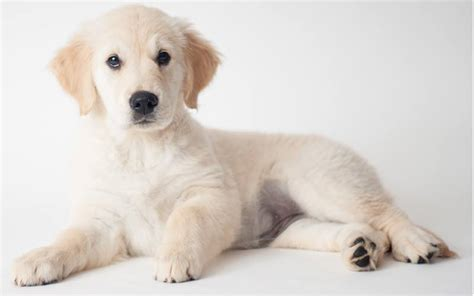 awesome golden retriever names best golden retriever names 150 amazing ideas