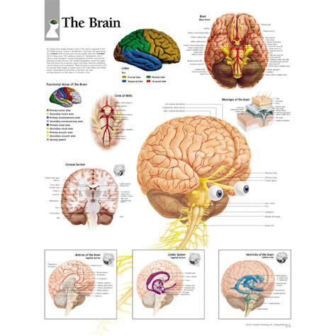 for the brain scientific publishing the brain chart