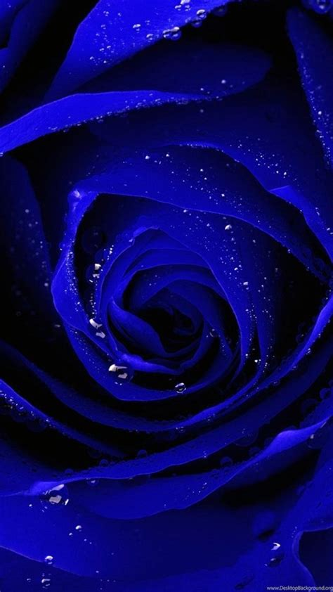 blue rose hd wallpapers pictures  mobile desktop background