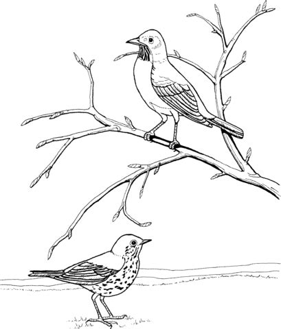 american robin coloring page coloring pages