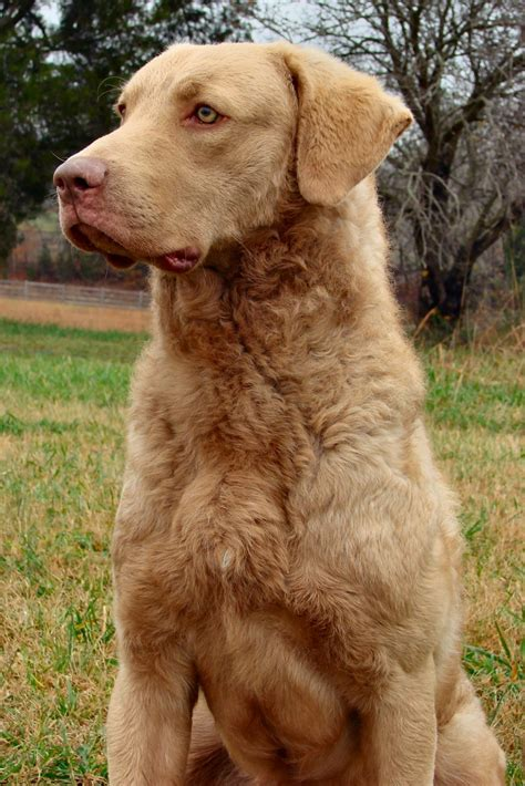 golden bay retriever 25 best ideas about chesapeake bay retrievers on chesapeake bay curly