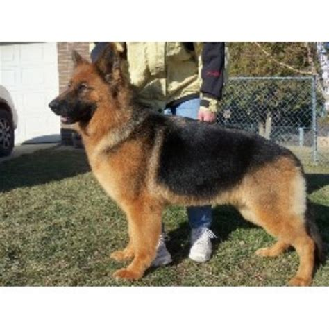 german shepherd puppies for adoption in michigan german shepherd gsd alsatian breeders in michigan page 1 freedoglistings