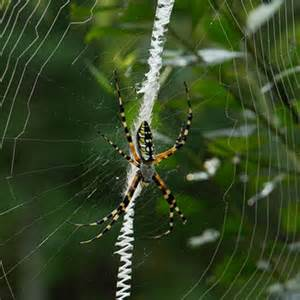 Garden Spider With Yellow Stripes Australia Black And Yellow Garden Spider The Science Show Abc