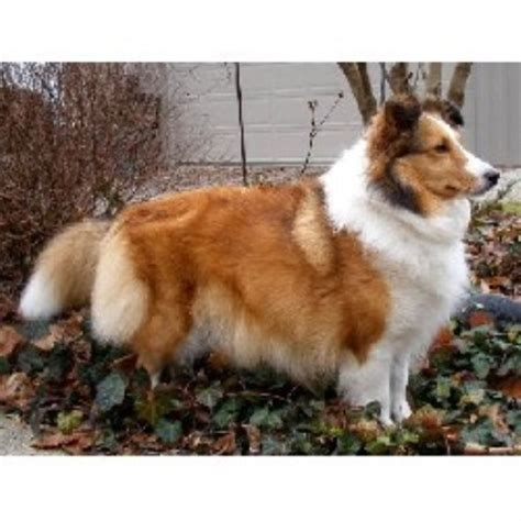 sheltie puppies for sale in ohio falmist shelties shetland sheepdog breeder in plymouth ohio