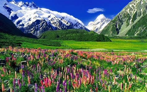 flower wallpaper nz lupines and mountain landscape wallpaper and background