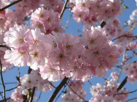 pink flowering cherry prunus accolade 171 chew valley trees