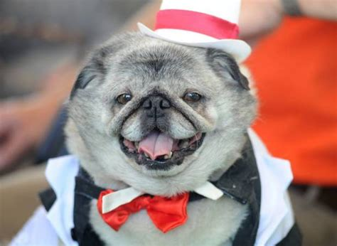 ugliest pug in the world world s ugliest contest 2014 top 10 photos metro news