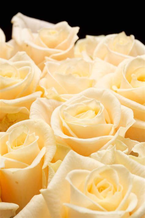 Japanese Flowering Shrubs - champagne rose 3ft standard hello hello plants amp garden supplies