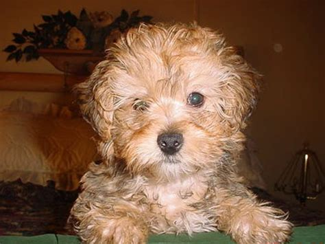 how big will a yorkie poo get get how big do yorkie poo puppies get how big do yorkie poo puppies