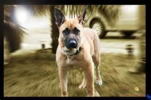 American pit bull terrier german shepherd mix