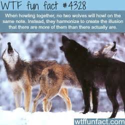 Wtf fun fact fun facts pinterest wolves fun facts and wolf