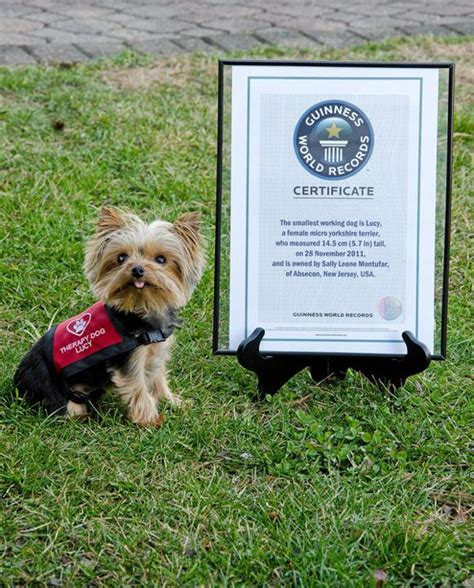 worlds smallest yorkie the world s smallest working has an story
