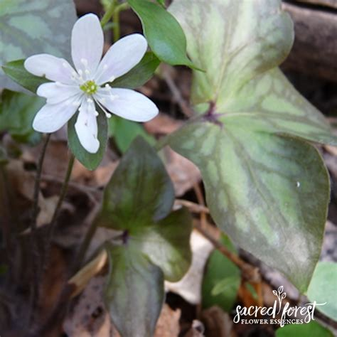 hepatica flower flowers ideas for review