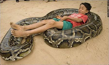 Getting swole with Burmese pythons: the transcriptomics of