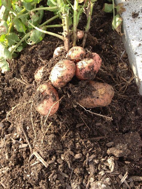 potatoes red wheelbarrow plants