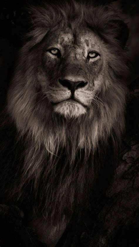lion wallpaper pinterest best 25 lion hd wallpaper ideas on pinterest lion