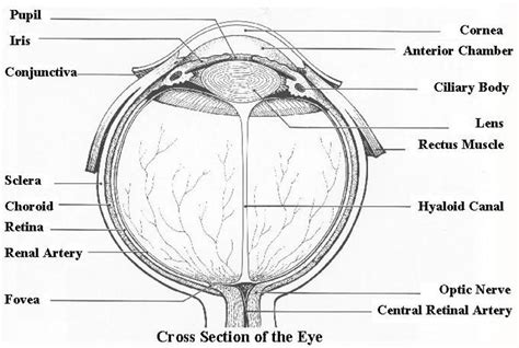 cross section diagram diagram of the cross section of the eye human anatomy chart