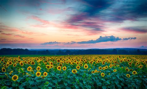 sunflower field the gallery for gt sunflower field sunrise
