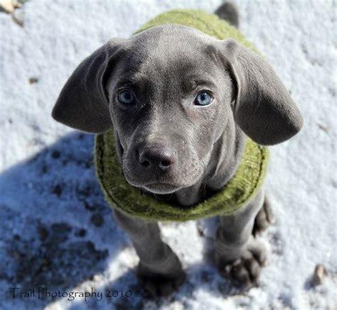 how much are weimaraner puppies top 25 best blue weimaraner puppy ideas on