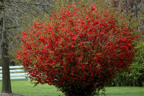 flowering quince shrub chaenomeles scarlet flowering quince hess