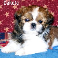 croaking toad shih tzu visit our available puppies link or the link above to see current puppies