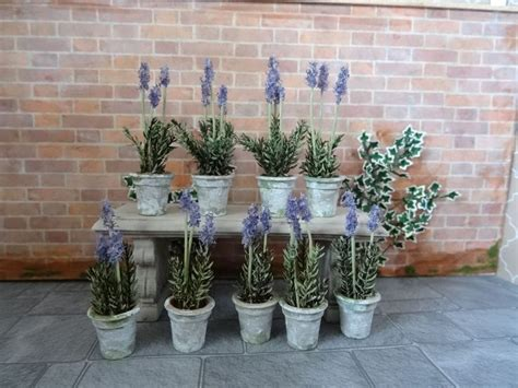 miniature plants for sale 25 best ideas about lavender plants for sale on