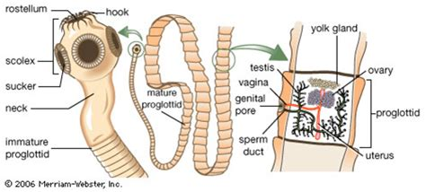 Diagram Of Tapeworm Liver Fluke Earthworm Hydra With Labelling 10092557 Meritnation Beef Tapeworm The Reproductive System