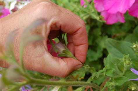 Dead Heading beginner gardening end the debate deadheading petunias
