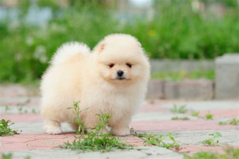 fluffy pomeranian puppies pomeranian puppy