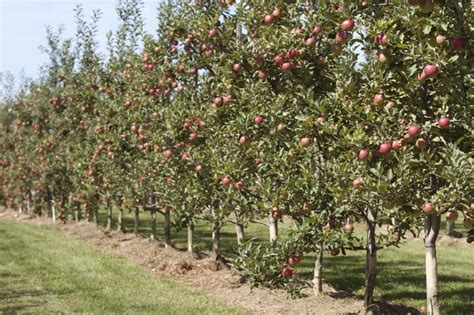 fruit trees ontario 17 best images about albion orchards on