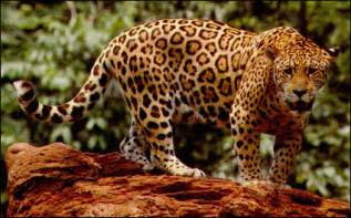 Do Jaguars Roar Animal Information