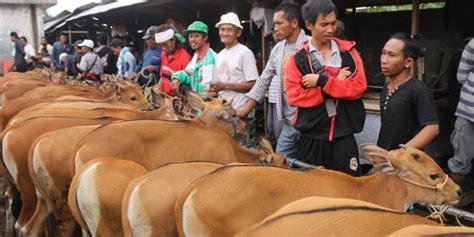 Jual Bibit Anak Sapi pasar beringkit awal perjalanan sapi bali