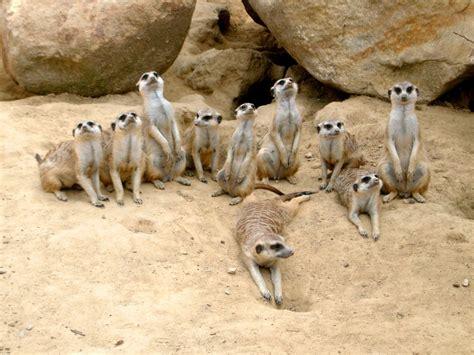 pictures of animals free images sand desert wildlife zoo mammal fauna kangaroo family
