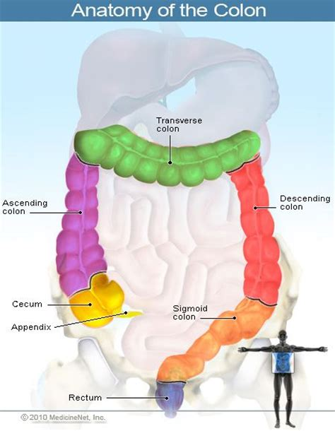 Stool Colon by Anatomy Of The Colon Large Intestines The Color Scheme