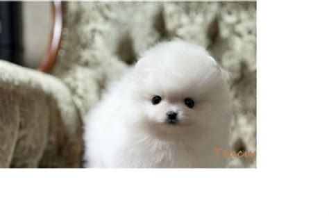 teacup pomeranian toronto teacup size purebred snow white pomeranian puppies 10 weeks for sale in toronto