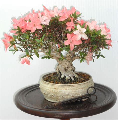 cura delle azalee in vaso casa immobiliare accessori azalea da esterno