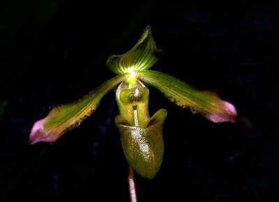 Anggrek Hijau anggrek kasut hijau paphiopedilum javanicum yang langka