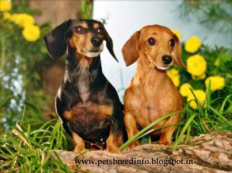 free dachshund puppies in trololo blogg free dachshund wallpaper